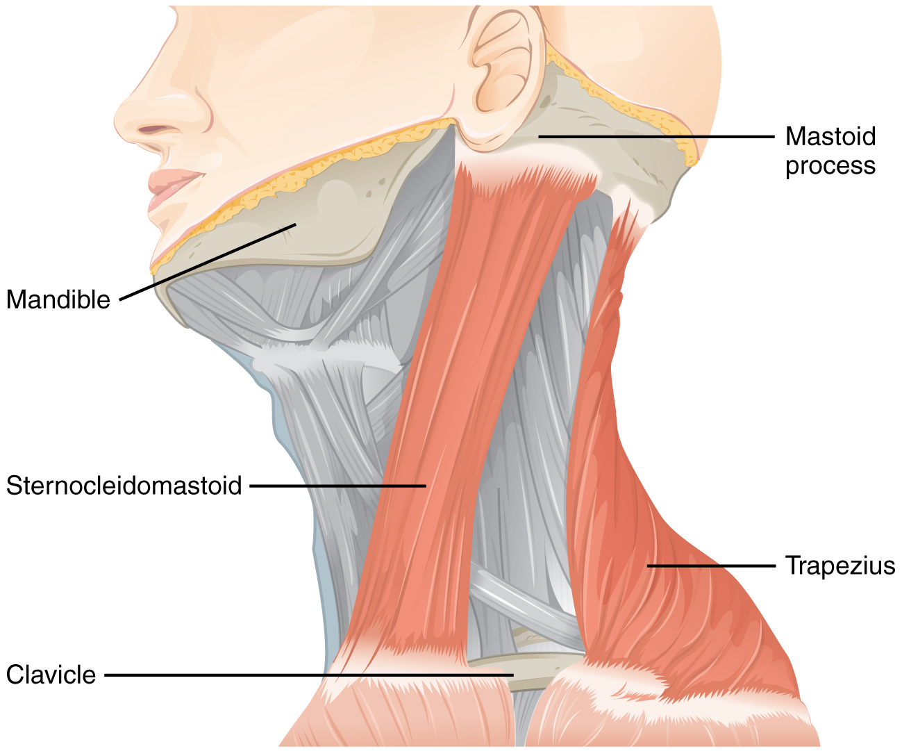 1610_Muscles_Controlled_by_the_Accessory_Nerve-02